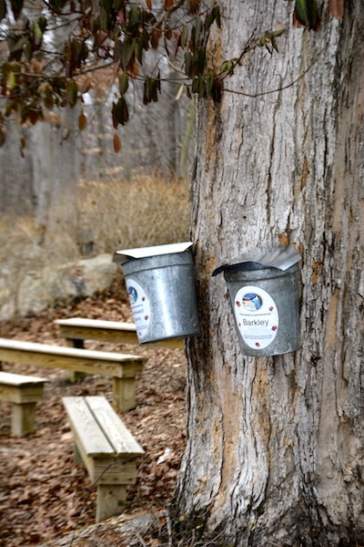 maple sugar tree buckets ct connecticut