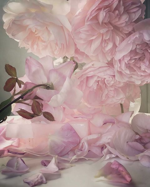 Nick Knight exhibition roses in my garden waddesdon manor buckinghamshire uk