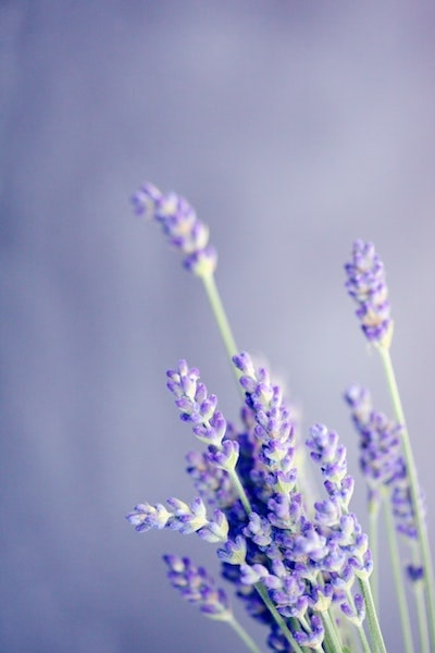 beautiful lavender from a lavender field purple background