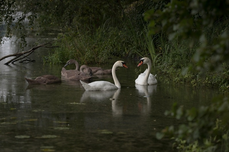 family of swans and cygnets