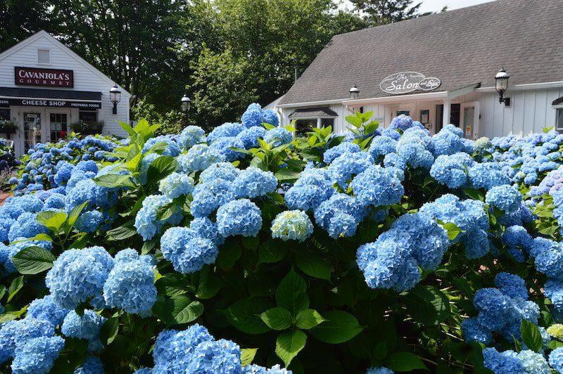 amagansett beautiful hydrangeas summer hamptons