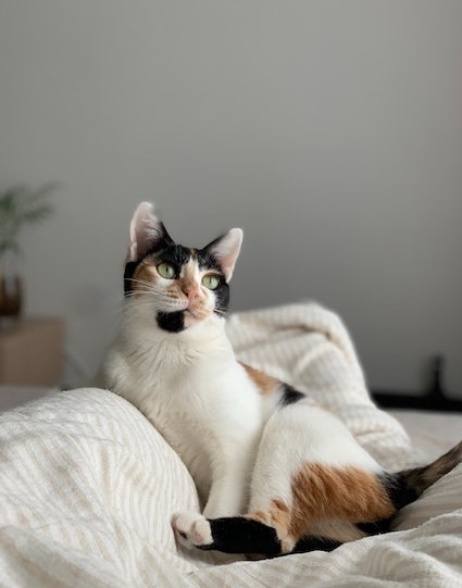 cat lounging with white blanket at home