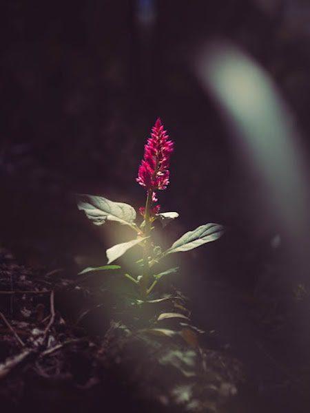 beautiful red flower dark background light