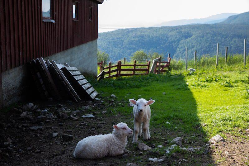 lambs in hagalid norway travel