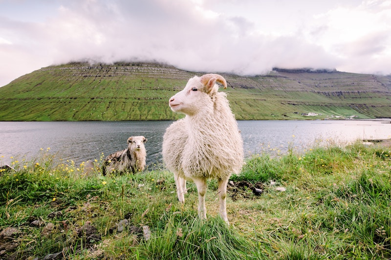 the faroe islands sheep the uk travel europe