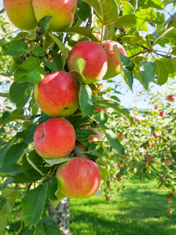 apple picking apples growing on branch bright sunny day